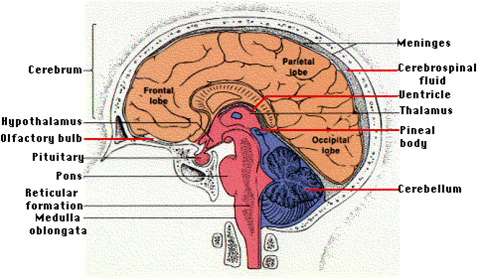 120302 The Brain Our Silent Partner Anatomy And Cognition