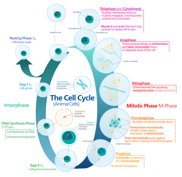13 04 03: Cell Biology: From HeLa Cells to the Polio Vaccine